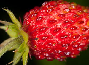 Red wild strawberry